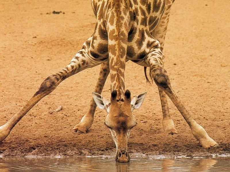 girafe%20